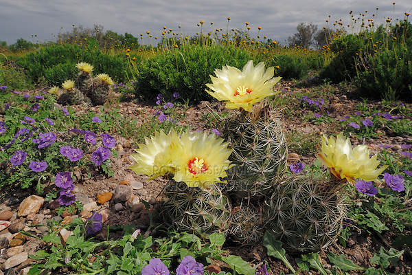 Sea Urchin Cactus (Coryphantha echinus) and Purple Ground Cherry (Quincula lobata), blooming,  Laredo, Webb County, South Texas, USA