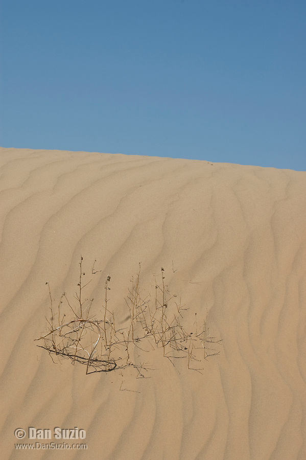 Dried stems of unidentified annual plant, Algodones Dunes, California
