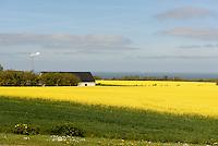 Rapsfelder bei Rutsker auf der Insel Bornholm, Dänemark, Europa<br /> Rape fiels near Rutsker, Isle of Bornholm, Denmark