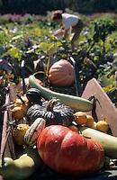 Europe/France/Ile-de-France/91/Essonne/Courson-Monteloup: Cucurbitacées dans le jardin potager