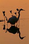 Great egret, Everglades National Park, Florida