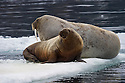 A calf Atlantic walrus practices control of his mouth on an ice floe near Beverlysundet,  Nordaustlandet, Svalbard.  When he's old enough he'll use his vibrissa to dig in the mud for clams and mussels.