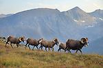 Rocky Mountain Bighorn Sheep Rams