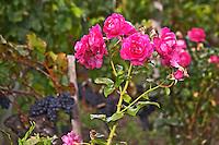 Roses in the vineyard. Chateau Grand Corbin Despagne, Saint Emilion Bordeaux France