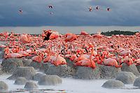 American Flamingo (Phoenicopterus ruber) colony. Rio Lagartos Biosphere Reserve.. Yucatan, Mexico.