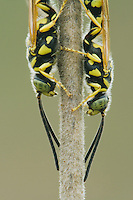 Five-banded Tiphiid Wasp (Myzinum quinquecinctum), adults resting, Sinton, Corpus Christi, Coastal Bend, Texas, USA