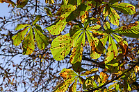 GERMANY, lower saxonia, Forest, leaves of chestnut tree with fungus sickness / DEUTSCHLAND, Niedersachsen, Wald, Kastanien Krankheit, Pilzbefall