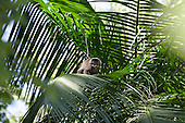 Parana, Brazil. Mata Atlantica forest monkey looking into the camera from a palm tree.