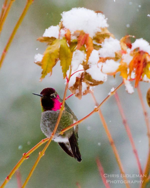 A male Anna's Hummingbird (Calypte anna) with it's bright pink neck is on branch of a Japanese Maple in early Winter with snow on the leaves of the tree as the snow if falling in the background.