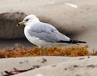 Second winter ring-billed gull in March