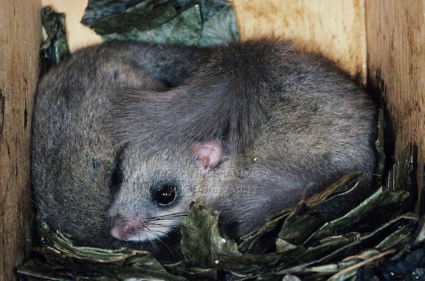 Fat Dormouse, Glis glis, Pair sleeping in Bird Nest box, Oberaegeri, Switzerland, Europe