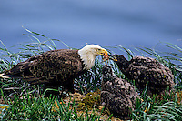 Bald eagle feeding young eaglets in nest, June.