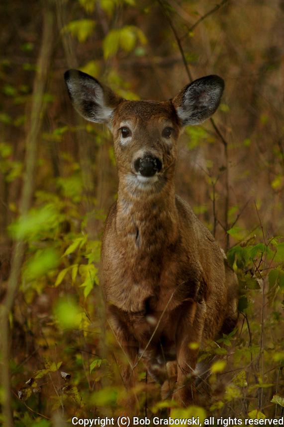 A Whitetail Deer, Odocoileus virginianus, in the Five Rivers Enviromental Center in Delmar, New York