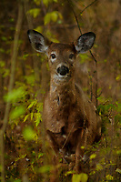 A Whitetail Deer, Odocoileus virginianus, in the Five Rivers Enviromental Center in Delmar, New York