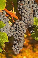 A vine with Ripe Merlot grape bunches on the vine at Chateau Lafleur, Pomerol, Bordeaux.