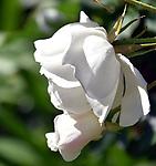 Rose Row