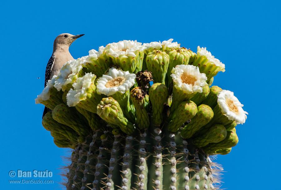 A Gila Woodpecker, Melanerpes uropygialis, perches on a blooming Saguaro cactus, Carnegiea gigantea, in Saguaro National Park, Arizona