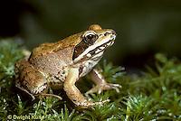 FR19-003b  Wood Frog - Lithobates sylvaticus, formerly Rana sylvatica