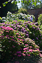 """20/06/16<br /> <br /> Tucked away in a hidden walled garden of an inner-city public park, the UK's largest hydrangea collection is putting on its best display ever, following the sudden heatwave after several months of rain.<br /> <br /> Full story:  <br /> <br /> https://fstoppressblog.wordpress.com/britains_biggest_hydrangea_garden/<br /> <br /> .And what used to be a flower traditionally associated with """"granny's cottage garden"""" is blooming back into fashion thanks to the rising trend for all things shabby chic and retro-styled.<br /> <br /> There are more than 600 individual hydrangea bushes with a dozen or so different varieties, planted in Derby's Darley Abbey park, formerly part of an estate belonging to the nearby cotton mills.<br /> <br /> All Rights Reserved, F Stop Press Ltd. +44 (0)1773 550665"""