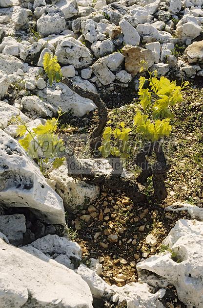 Europe/Croatie/Dalmatie/ Primosten: Le vignoble  de Karst- Plantation des pieds de vigne dans un carré encerclé de pierre
