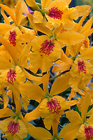 Gold Rush orchid<br />