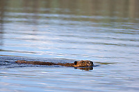 Beaver swims in a pond along the Chena Hot Springs road, Interior, Alaska.
