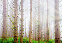 Sitka Spruce forest with fog on the oregon coast. Samuel H. Boardman State Scenic Corridor. Oregon