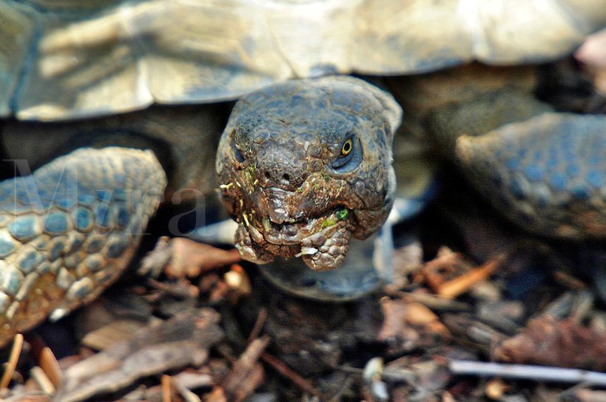 A gopher tortoise living in an urban area, sticks his head out in Newport Beach California.