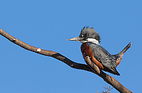 The ringed kingfisher is a large kingfisher species that I first saw in Costa Rica earlier this year.