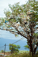 garbage, A tree filled with plastic bags, down wind from a landfill site on the island of Maui, Hawaii, Pacific Ocean A state wide ban on plastic bags went into effect in January 2011.