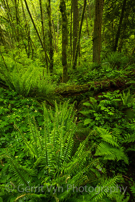 Temperate forest in Forest, Park. Portland, Oregon. May.