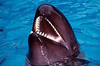 false killer whale, Pseudorca crassidens (c), showing formidable teeth