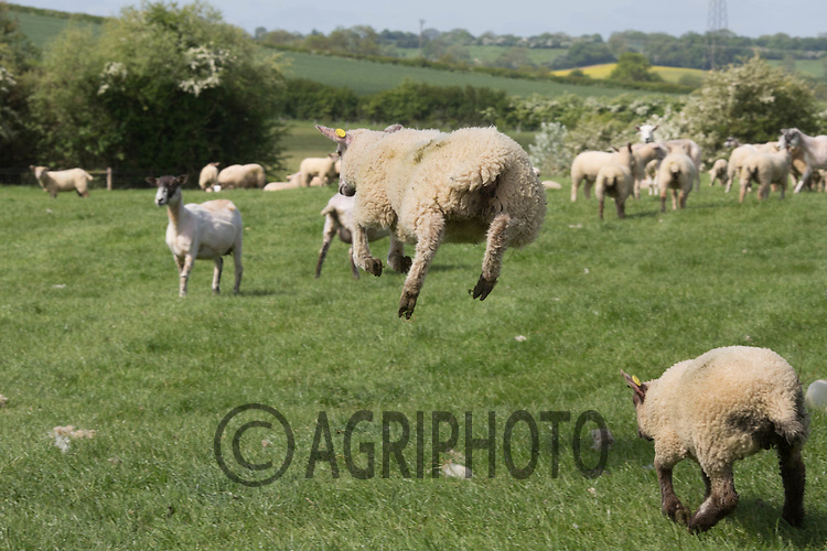 Shearing sheep<br /> ©Tim Scrivener Photographer 07850 303986<br /> ....Covering Agriculture In The UK....