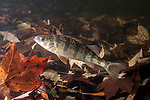 Yellow Perch swimming left over fallen leaves