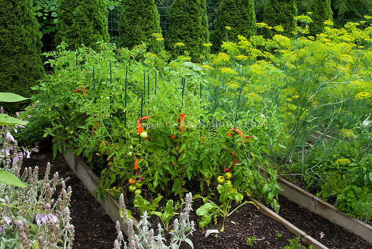 Edible garden, raised beds, mulch, tomatoes staked, lambsears in bloom, flowering dill herbs, evergreen shrubs