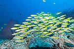 Misool, Raja Ampat, Indonesia; a polarized school of Bigeye Snapper (Lutjanus lutjanus) fish swimming over the coral reef