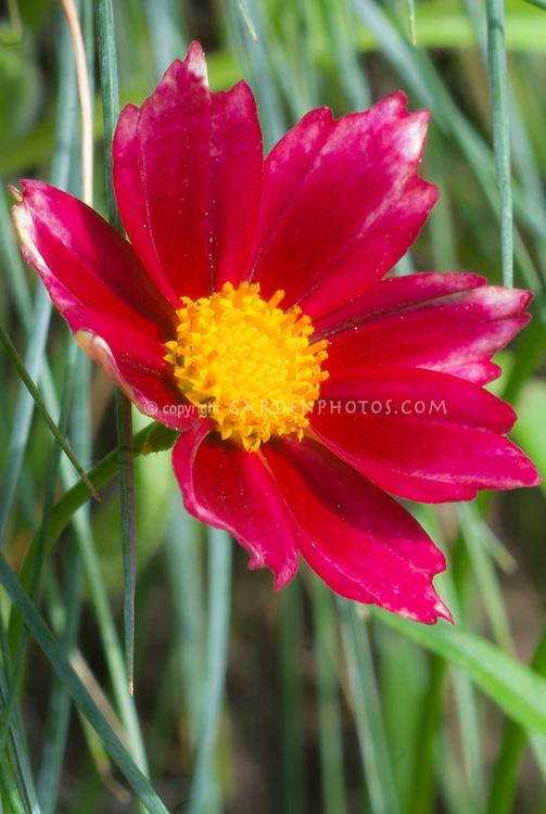 Coreopsis Mercury Rising, red