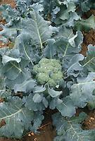 Vegetable broccoli growing in garden