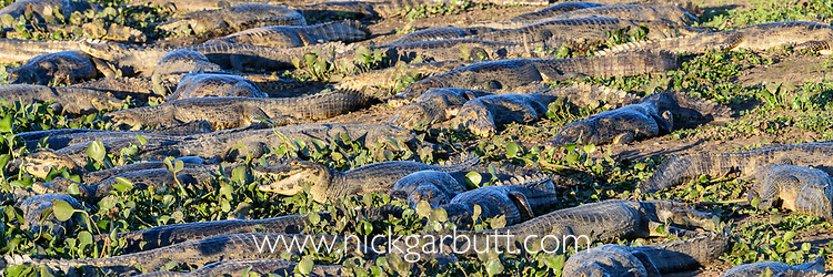 Gathering of sunbathing yacare caiman (Caiman yacare) at the edge of a lagoon. Some gaping to regulate its body temperature (thermoregulation). Northern Pantanal, Mato Grosso, Brazil,