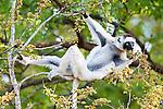 Adult Verreaux's Sifaka (Propithecus verreauxi) feeding on shoots. Menabe Forest, west Madagascar. IUCN: Vulnerable.