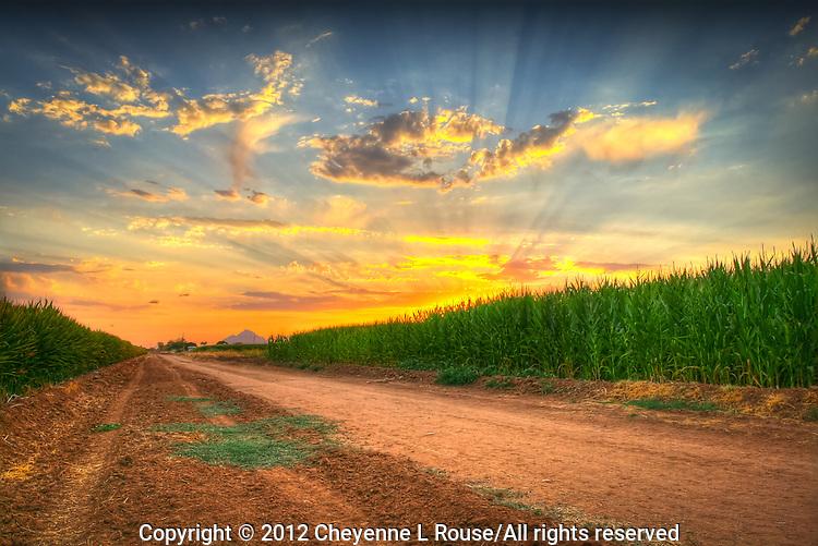 Cornfield in Arizona at sunset