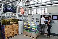 GERMANY, Berlin, Tilapia fish farm of start up ECF, the fish farm is combined with green houses to cultivate vegetables irrigated with sewage water from the fish ponds , the system is called aquaponic, the fish is distributed in Berlin to avoid long transport ways / DEUTSCHLAND, Berlin, Tilapia Fischfarm des start-up Unternehmens ECF auf dem gelaende der ehemaligen Schultheiss Malzfabrik, mit dem naehrstoffhaltigem Abwasser der Fischtanks wird Basilikum im Gewaechshaus bewaessert, Aquaponic System, als Hauptstadt Barsch werden Fisch und Basilikum in Berlin ueber Rewe und Metro lokal vermarket, Futter Saecke und Steuerungsanlage
