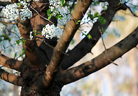 Stock photo: White cherry blossom tree trunk and big branches.