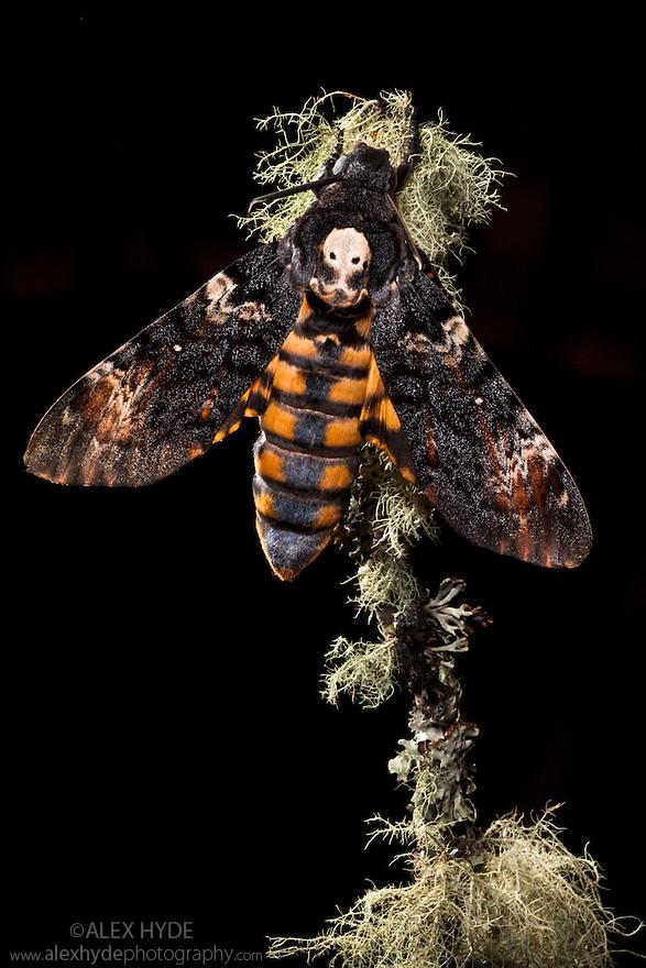 Death's head hawkmoth {Acherontia atropos} UK. Captive bred.