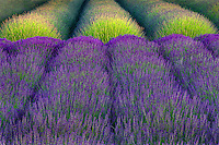 Rows of lavendar. Angels Lavender Farm. Washington.