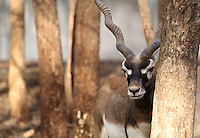 """Stock photo sad looking black-buck deer hiding behind a tree trunk.<br /> <br /> This image is also available in monochrome. View the gallery-""""Black & White Fine Art Images""""."""