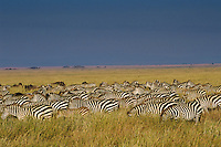 Burchell's Zebra or Plains Zebra (Equus burchelli), Africa.  Serengeti Plains, Zebra migration.
