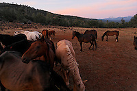"Wild horses are social animals looking out for the herd as others graze.<br /> Dianne Nelson has saved mustangs on a ranch in northern California at the Wild Horse Sanctuary.  ""It was in 1978 that the Wild Horse Sanctuary founders rounded up almost 300 wild horses for the Forest Service in Modoc County, California. Of those 300, 80 were found to be un-adoptable and were scheduled to be destroyed at a government holding facility near Tule Lake, California. The Sanctuary is located near Shingletown, California on 5,000 acres of lush lava rock-strewn mountain meadow and forest land. Black Butte is to the west and towering Mt. Lassen is to the east. ..Their goals:.Increase public awareness of the genetic, biological, and social value of America's wild horses through pack trips on the sanctuary, publications, mass media, and public outreach programs..Continue to develop a working, replicable model for the proper and responsible management of wild horses in their natural habitat..Demonstrate that wild horses can co-exist on the open range in ecological balance with many diverse species of wildlife, including black bear, bobcat, mountain lion, wild turkeys, badger, and gray fox..Collaborate with research projects in order to document the intricate and unique social structure, biology, reversible fertility control, and native intelligence of the wild horse."