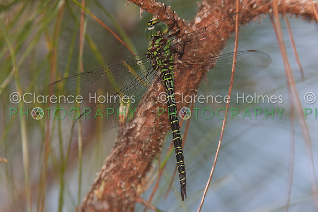 Regal Darner (Coryphaeschna ingens) Dragonfly - Male, Lake Kissimmee State Park, Lake Wales, Polk County, Florida