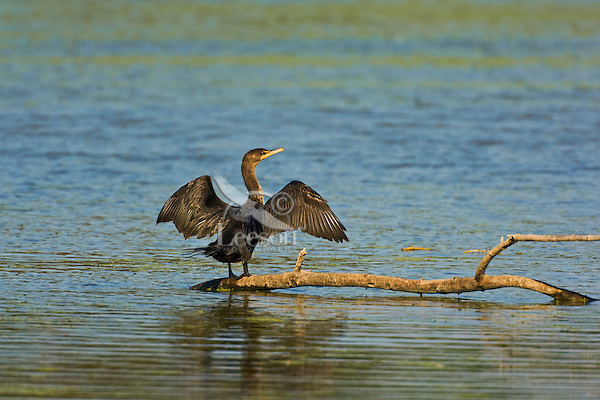 Double-crested Cormorant (Phalacrocorax auritus) stands with wings stretched out to dry after hunting prey underwater, September, along Lake Erie in southwestern Ontario, Canada.  As cormorant plumage is only lightly water repellent, they must spend time drying their wings between trips underwater.